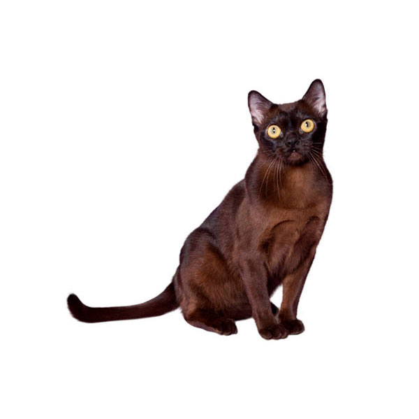 Bombay Cat Breed Profile Purina