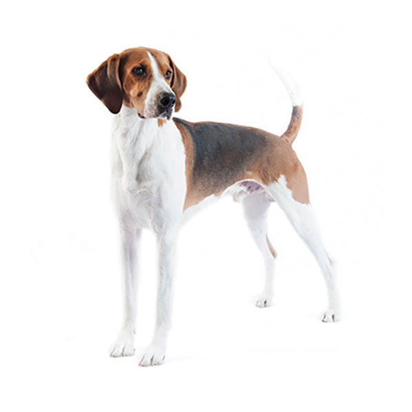 English Foxhound - Purina®