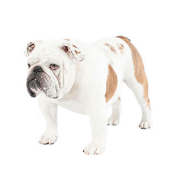 French Bulldog Dog Breed Profile | Purina®