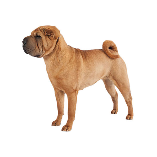 Pei Rating: Chow Chow Dog Breed Profile