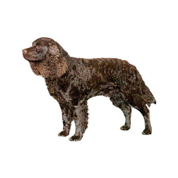 American Water Spaniel - Purina® American Water Spaniel Dogtime