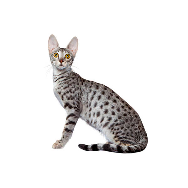 Best Food Savannah Cat