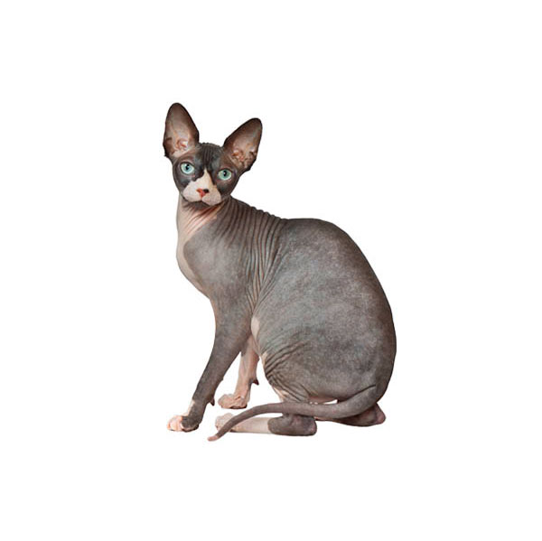Cat Breeds That Do Well Alone