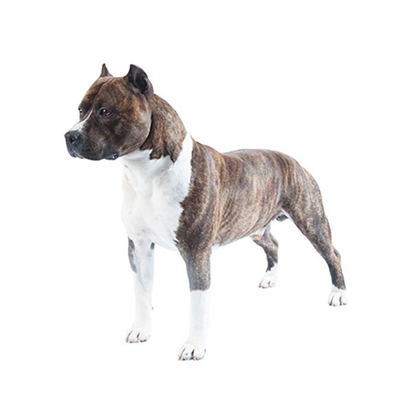 American staffordshire terrier purina - Best dogs for small spaces pict ...