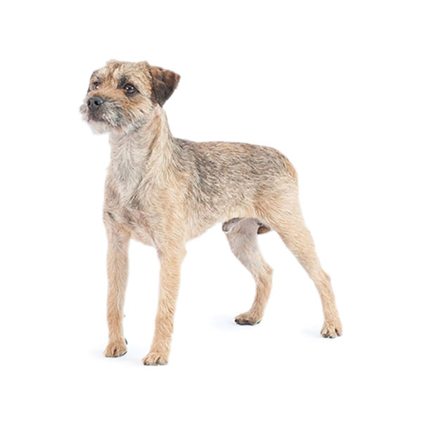 Best Food For Border Terriers