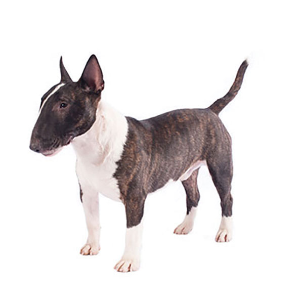 Purina Beyond Cat Food >> Staffordshire Bull Terrier