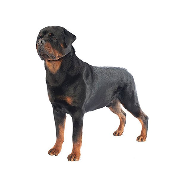 Rottweiler Breed Profile Purina