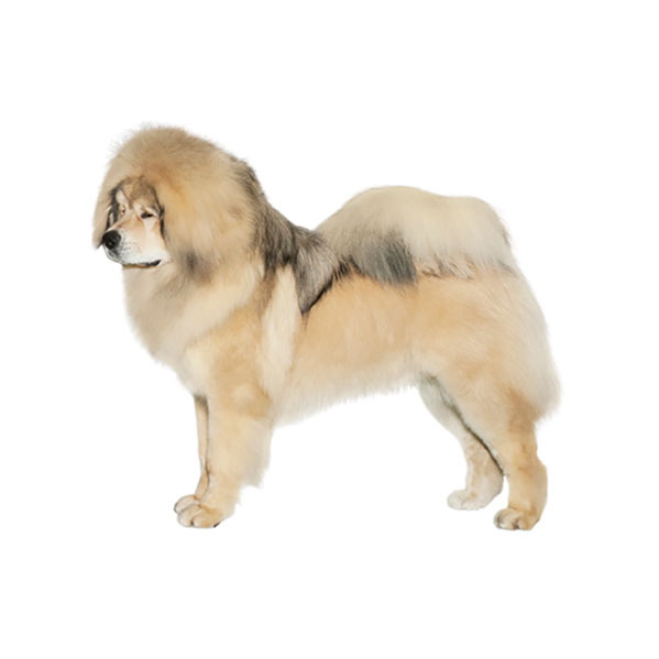 Great Pyrenees Dog Breed Profile Purina