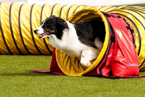 Agility Field at Purina Farms