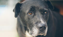 Canine Cognitive Dysfunction Syndrome - thumbnail