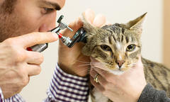 Hypertension in Cats thumb