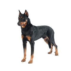 Short Haired Dog Breeds Purina
