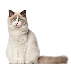 Ragdoll Cat Breed Image