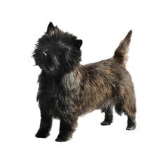 Long Haired Dog Breeds Purina