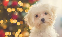 what to consider before giving a dog as a gift