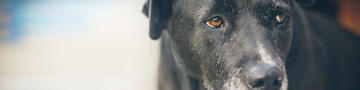 Canine Cognitive Dysfunction Syndrome - hero