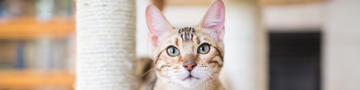 Hyperthyroidism in Cats hero