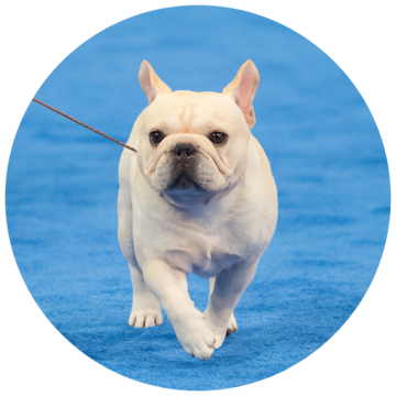 2017-national-dog-show-best-in-non-sporting.png
