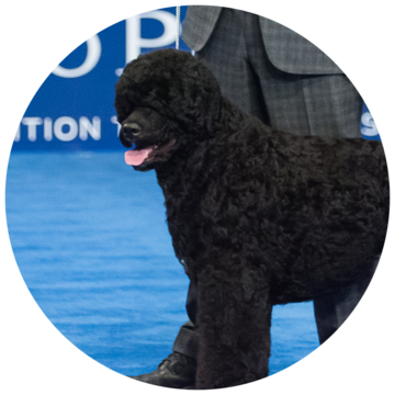 2017-national-dog-show-best-in_Working.png