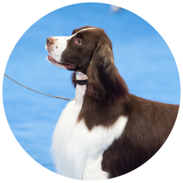 2017-national-dog-show-best-in_sporting.png