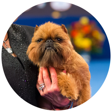 2017-national-dog-show-best-in_toy.png
