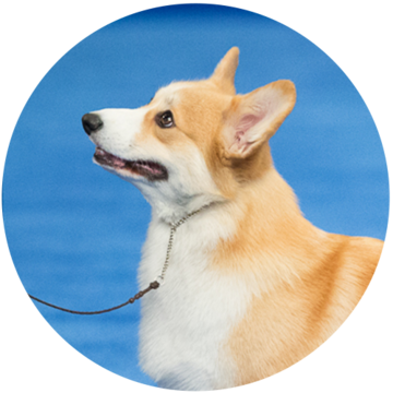 2018-national-dog-show-herding-winner-Bella_500x500.png
