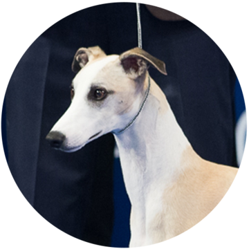 2018-national-dog-show-hound-winner-Whiskey_500x500.png