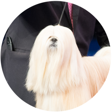 2018-national-dog-show-non-sporting-winner-Billy_500x500.png