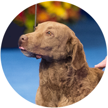 2018-national-dog-show-sporting-winner-Duckie_500x500.png