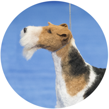 2018-national-dog-show-terrier-winner-King_500x500.png