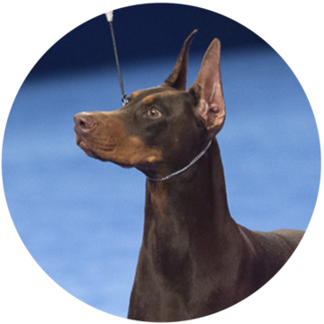 2018-national-dog-show-working-winner-Irupe_500x500.png