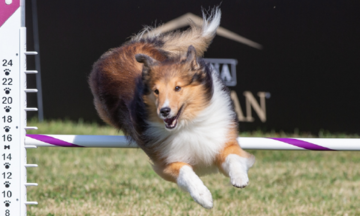 Dog competing in agility course