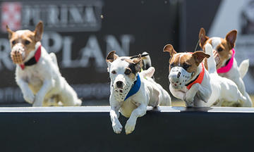 Jack Russell terriers jumping