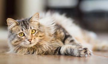long haired tabby cat laying on floor