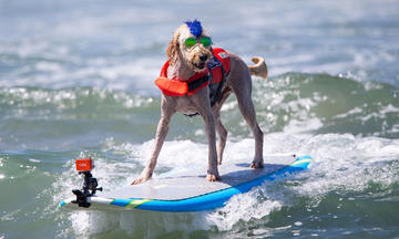 Dog with goggles surfing in the ocean