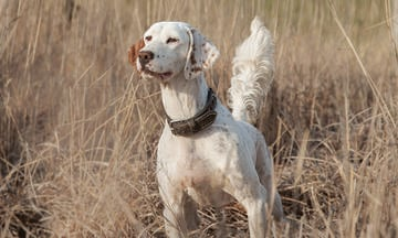 athletic and sporty English setter show dog white coat and brown spots posing in a golden brown field