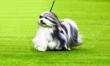 Bono show dog with a beautiful long white and grey coat running
