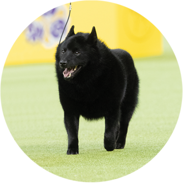 colton-schipperke-non-sporting-group-winner-2019