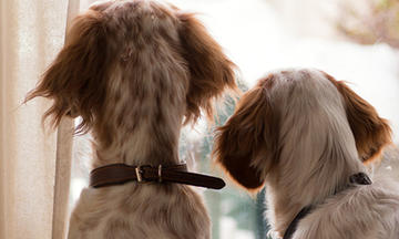 Two dogs looking out window