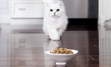 White cat approaching fancy feast natural cat food