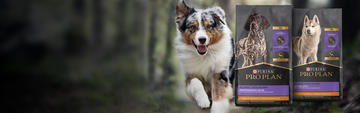 athletic Australian shepherd running in the wilderness next to pro plan sport product bags