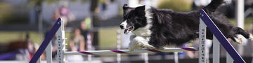 Dog Agility Weave Poles Hero