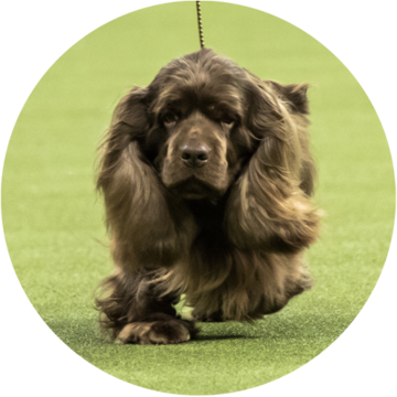 Sporting - Sussex Spaniel