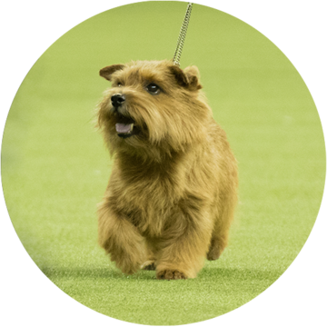 Terrier - Norfolk Terrier