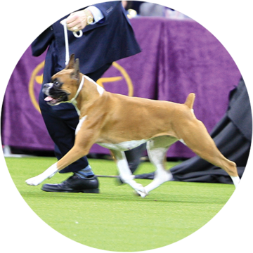 wilma-boxer-westminster-working-group-winner-2019