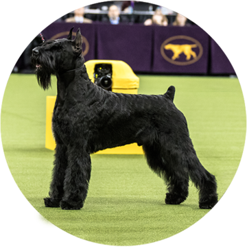 Working - Giant Schnauzer