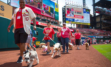 cardinals baseball game with shelter dogs walking around infield