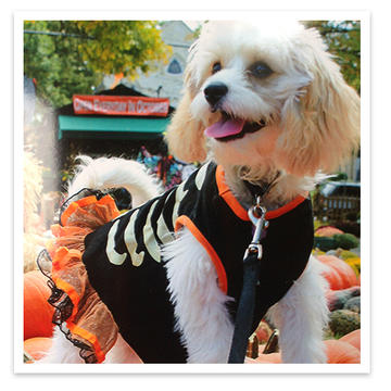 Roxy, small dog in Halloween costume